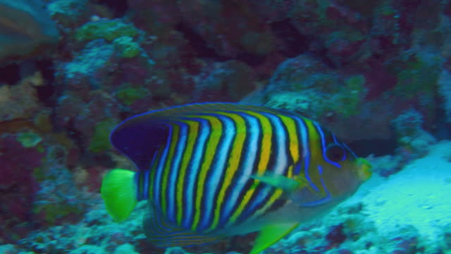 / brightly colored regal angelfish swimming along deep coral reef wall underwater