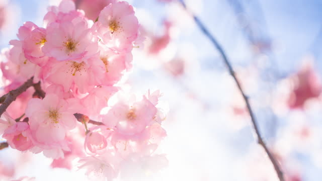 brightly lit cherry blossom flowers in spring - cherry blossom stock videos & royalty-free footage