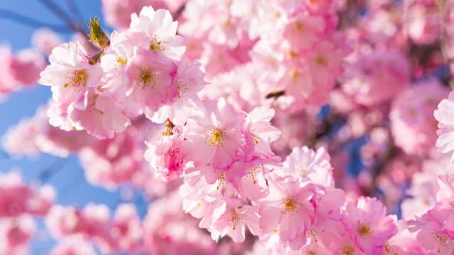 春の晴れた日に明るく輝く桜が咲く - 太白桜点の映像素材/bロール