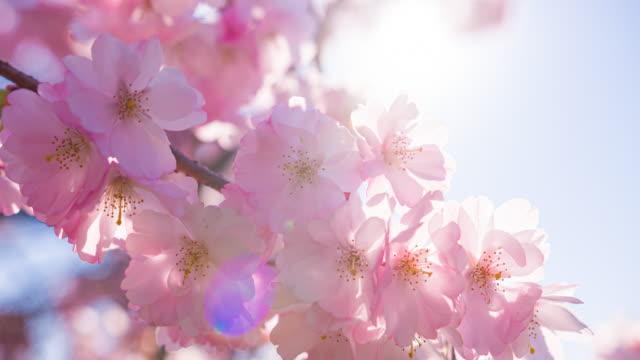 春の晴れた日に明るく輝く桜が咲く - brightly lit点の映像素材/bロール