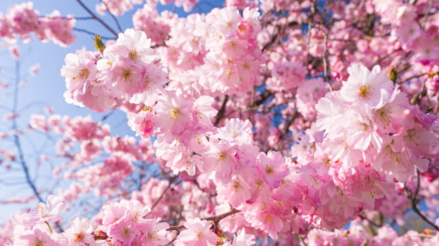vídeos de stock e filmes b-roll de brightly lit cherry blossoms in bloom on a beautiful sunny day in spring - brightly lit