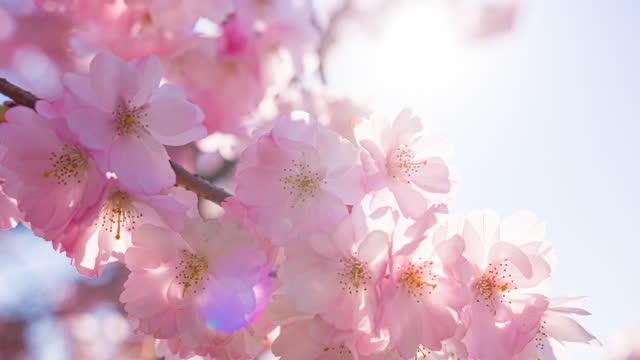 vídeos y material grabado en eventos de stock de flores de cerezo brillantemente iluminadas en flor en un hermoso día soleado en primavera - brightly lit