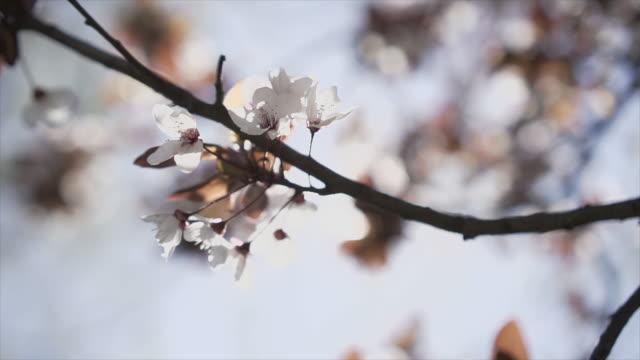 vídeos y material grabado en eventos de stock de flores de cerezo iluminadas y brillantes moviéndose en la brisa. the sun está en segundo plano-vídeo en stock - brightly lit