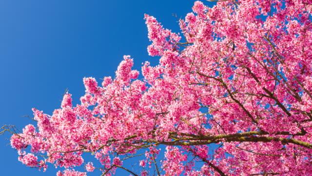 晴天背景の春の美しい晴れた日に明るく照らされた桜 - brightly lit点の映像素材/bロール