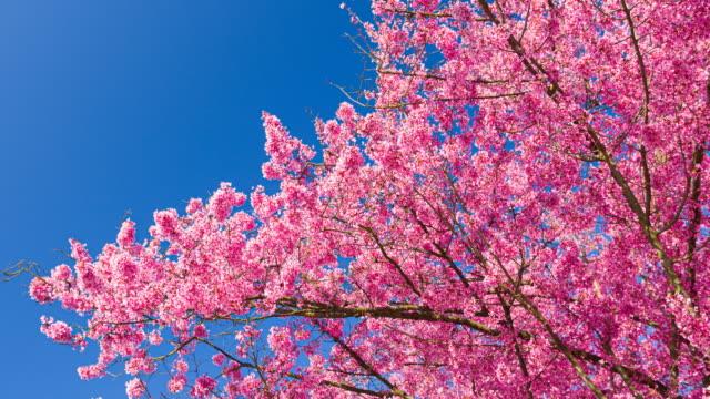 vídeos de stock, filmes e b-roll de flores de cerejeira iluminadas brilhantemente em um lindo dia ensolarado na primavera em um fundo de céu claro - brightly lit