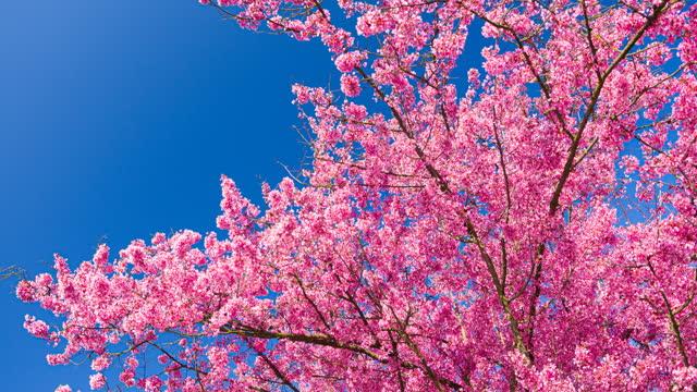 vidéos et rushes de fleurs lumineuses de cerise sur une belle journée ensoleillée au printemps sur un fond clair de ciel - ensoleillé
