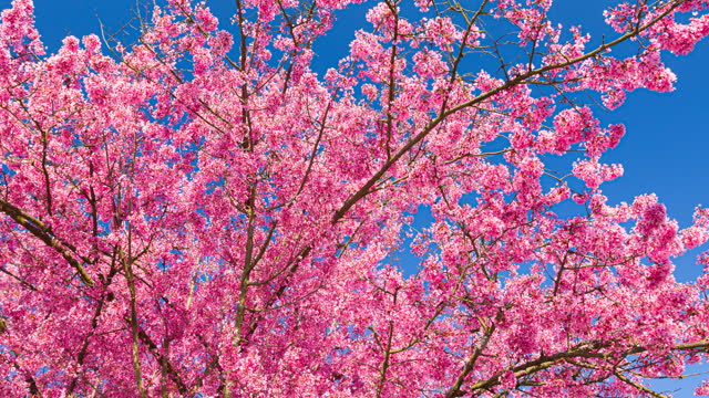 vídeos de stock e filmes b-roll de brightly lit cherry blossoms on a beautiful sunny day in spring on a clear sky background - brightly lit