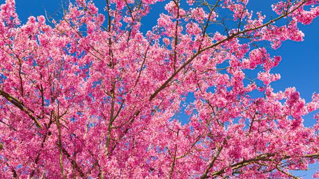 vídeos y material grabado en eventos de stock de flores de cerezo brillantemente iluminadas en un hermoso día soleado en primavera sobre un fondo de cielo despejado - brightly lit