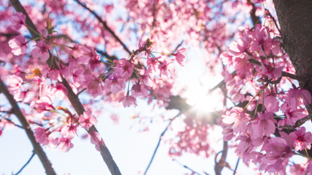 vídeos de stock e filmes b-roll de brightly lit cherry blossoms on a beautiful sunny day in spring - brightly lit