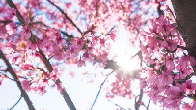 春の晴れた日に明るく照らされた桜 - brightly lit点の映像素材/bロール