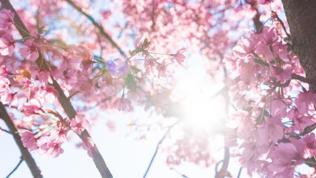 vídeos y material grabado en eventos de stock de flores de cerezo brillantemente iluminadas en un hermoso día soleado en primavera - brightly lit