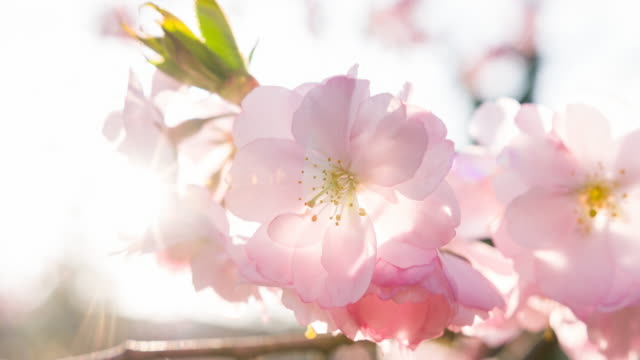brightly lit cherry blossoms - springtime stock videos and b-roll footage