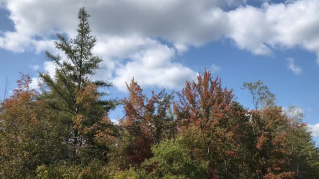 vídeos de stock, filmes e b-roll de brilliant autumn foliage in maine blowing in the wind with blue sky and clouds - pinaceae