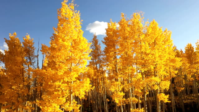 brilliant golden aspens in colorado wilderness - aspen tree stock videos & royalty-free footage