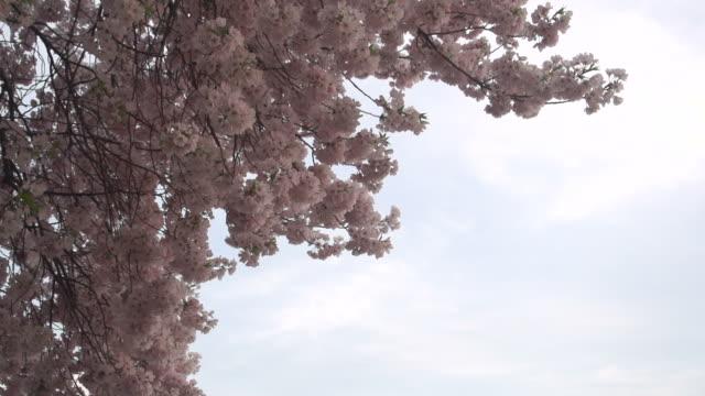 brillantes rosa blüten gegen weichen blauen himmel in washington d.c. - klammer stock-videos und b-roll-filmmaterial