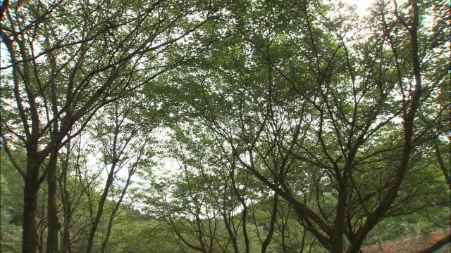 vídeos y material grabado en eventos de stock de brilliant red spider lilies cover a hillside in japan. - hymenocallis caribaea