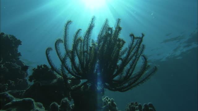 vídeos de stock e filmes b-roll de a brilliant sun shines above tropical fish and a variety of corals in palau reef. - recife fenómeno natural