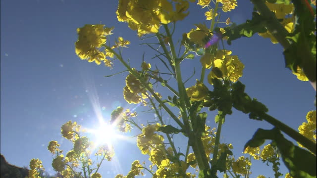 Brilliant sunlight shines above a field of rapeseed flowers.