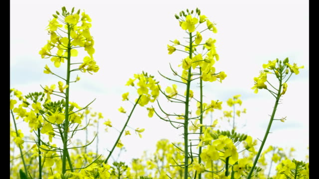 brilliant yellow flowers of the oilseed rape crop on a farm in worcestershire england - worcestershire stock videos and b-roll footage