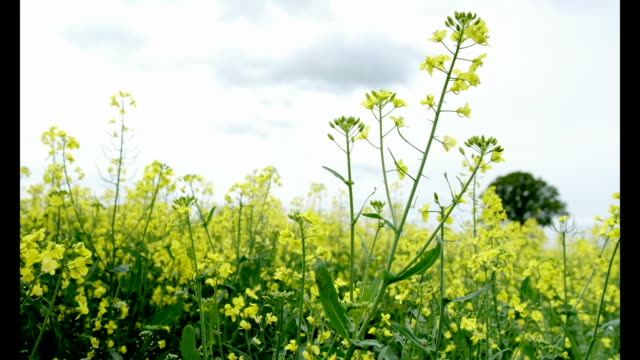 Brilliant yellow flowers of the oilseed rape crop on a farm in brilliant yellow flowers of the oilseed rape crop on a farm in stock footage video getty images mightylinksfo