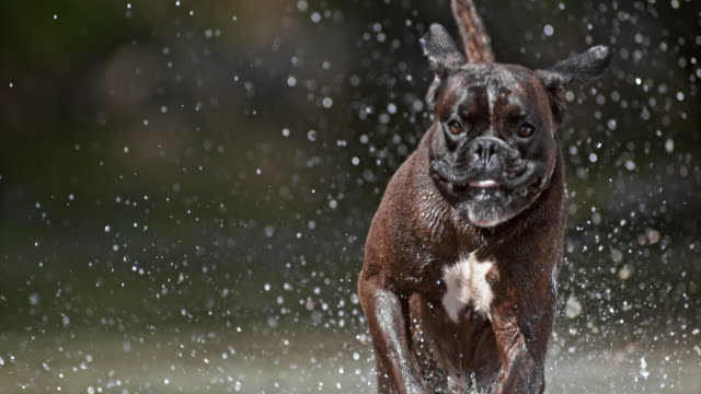 slo mo brindle boxer running in water on sunny day - boxer dog stock videos & royalty-free footage