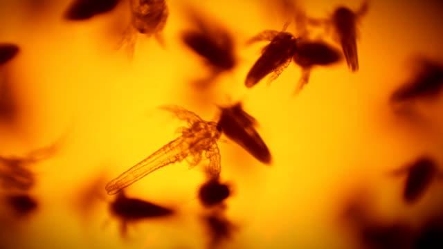 顕微鏡下でブラインシュリンプ - 多数の動物点の映像素材/bロール