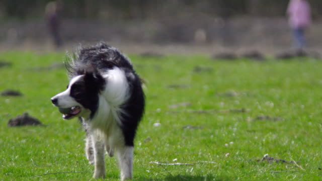 bring back the ball slow motion (1080p) - collie stock videos & royalty-free footage