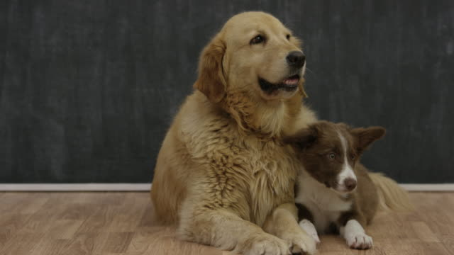 bringing home a new puppy - adoption stock videos and b-roll footage