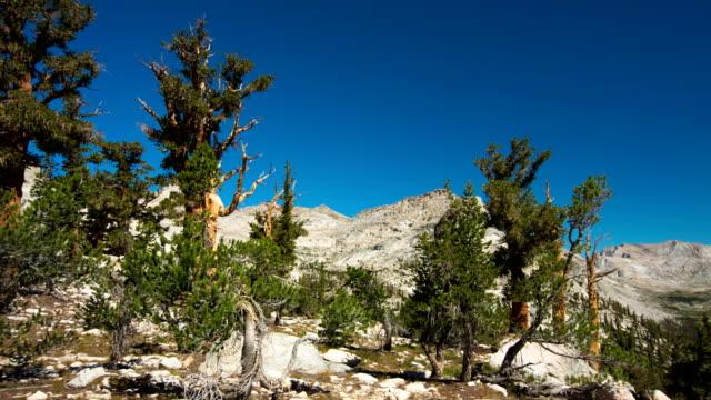 bristlecone grove - parco nazionale di sequoia video stock e b–roll