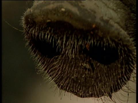 bristles on snout of wild boar, europe - tierische nase stock-videos und b-roll-filmmaterial