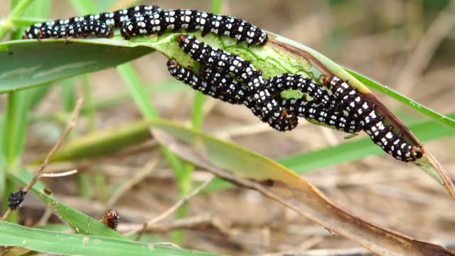 brithys crini catterpillars in mediterranean sandy beach - amaryllis stock videos & royalty-free footage