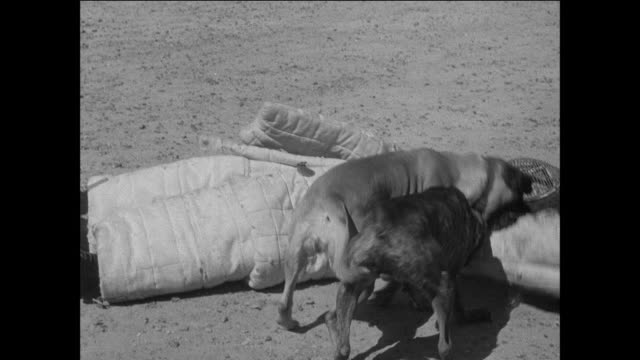 vidéos et rushes de montage british army soldiers conducting training exercises with dogs / suez, egypt - british military