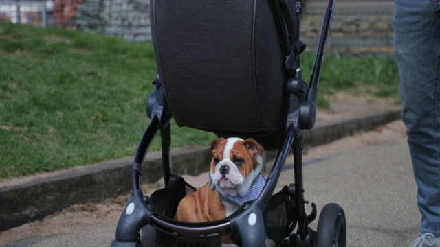 british bulldog on a walk - small stock videos and b-roll footage