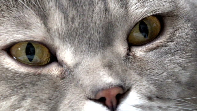 british cat lying on the armchair - grey colour stock videos & royalty-free footage