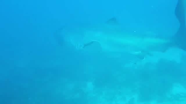 british diver penny bielich was exploring the gili lawa laut diving site, off indonesia' komodo island, on july 25, when she captured this amazing... - discovery stock videos & royalty-free footage