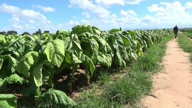 British doctor seizes Zimbabwe farm GV Farm buildings seen across field Tobacco plants growing in field Phil Rankin and Anita Rankin shake hands with...