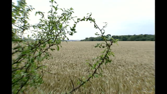british scientists awarded 64 million pound grant to develop gm cereal crops bsp160899041 gvs field of wheat on site where new genetically modified... - environmental media awards stock videos & royalty-free footage