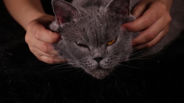 british shorthair cat enjoys a good massage - shorthair cat stock videos and b-roll footage