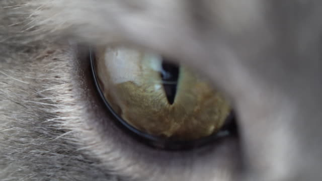 british shorthair cat eyes - animal eye stock videos & royalty-free footage