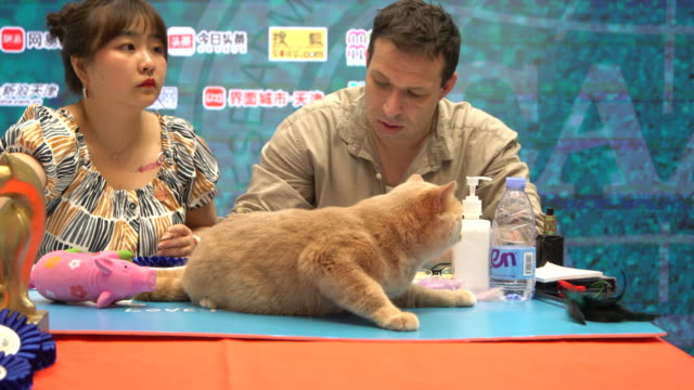 a british shorthair cat is on an international purebred cats competition which is held in a shopping mall hundreds cat owners and pet houses take... - shorthair cat stock videos and b-roll footage