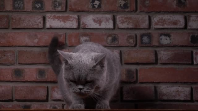 british shorthair cat jumping down in slow motion - shorthair cat stock videos and b-roll footage