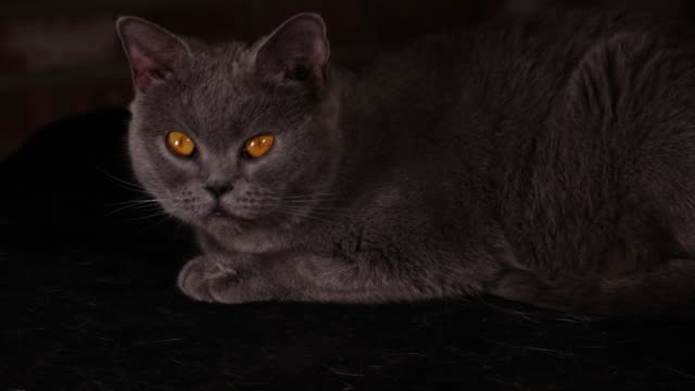 british shorthair cat licking its paws - shorthair cat stock videos and b-roll footage