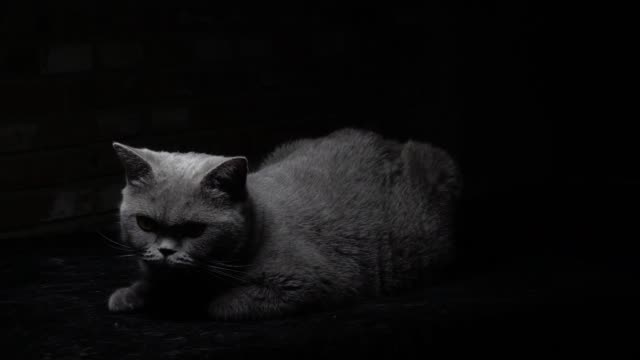 british shorthair cat lying on the ground, looking at the camera, in slow motion - shorthair cat stock videos and b-roll footage