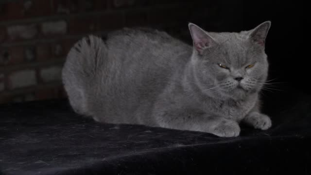 british shorthair cat opening its eyes in slow motion - shorthair cat stock videos and b-roll footage