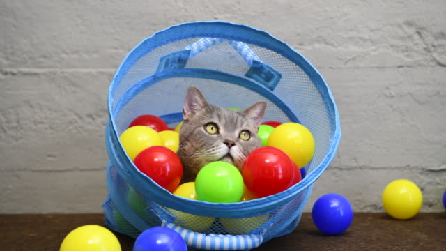 british shorthair cat playing with colorful balls in laundry basket - one animal stock videos & royalty-free footage