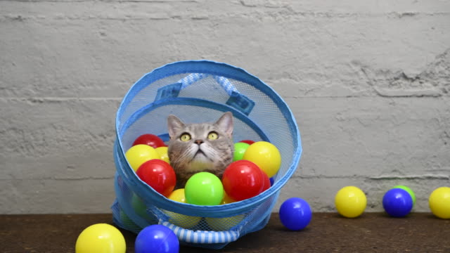 british shorthair cat playing with colorful balls in laundry basket - laundry basket stock videos and b-roll footage