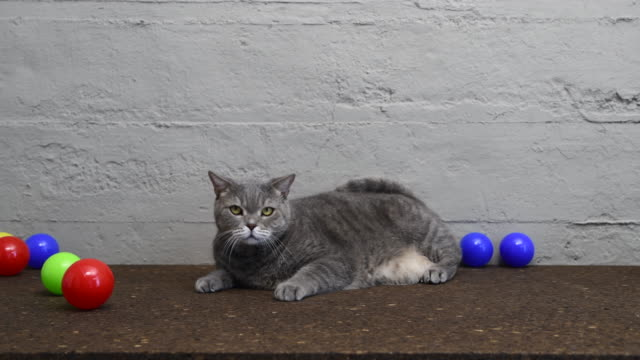 british shorthair cat playing with colorful balls on desk - shorthair cat stock videos and b-roll footage