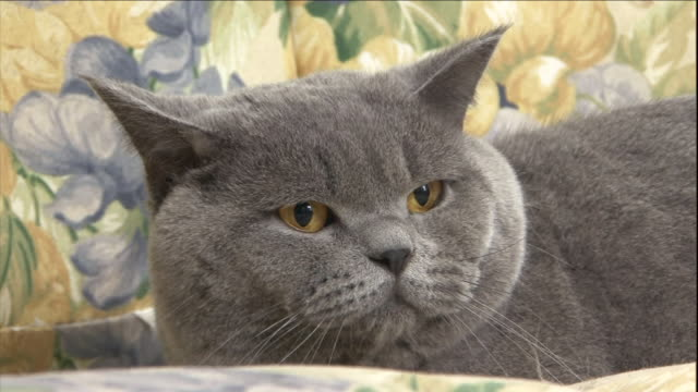 a british short-hair cat rests comfortably. - cat blinking stock videos & royalty-free footage