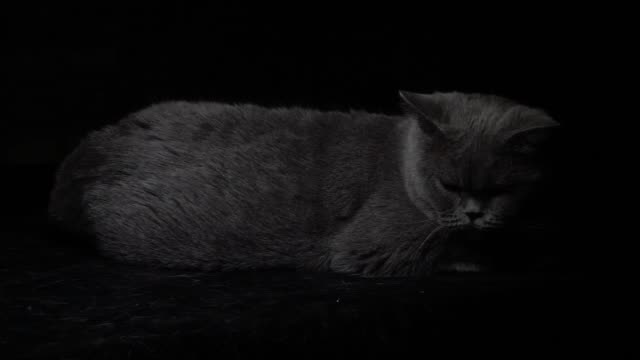 british shorthair cat turning its head in slow motion - shorthair cat stock videos and b-roll footage