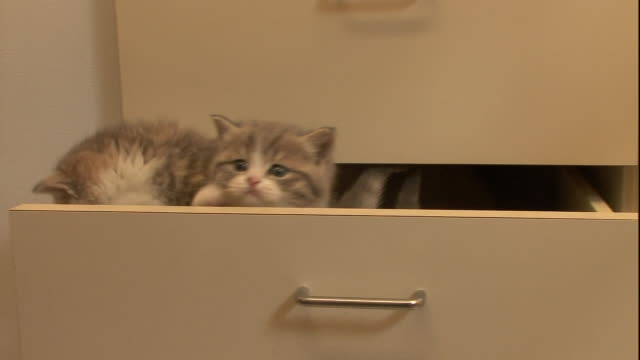 british shorthair kittens climb out of a drawer. - drawer stock videos & royalty-free footage